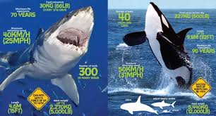 killer whale vs great white shark size comparison. Beautiful Comparison First Their Large Size And Ability To Out Run Prey At Least For  Short Bursts Allows Killer Whales Both Surprise Flee From  To Killer Whale Vs Great White Shark Size Comparison R