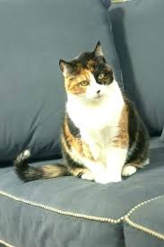 Diabetic Cat Food Chart Lysine For Cats Petsmart Babywallpaper Co