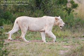 white lioness. Interesting White White Lioness Emerges From The Bushes And Walks Dam Wall Inside Lioness I