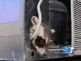 Raccoons In Vending Machine Adorable Young Raccoons Saved From Pepsi Machine YouTube