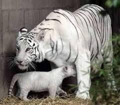 baby white tigers wallpaper. Fine Wallpaper Baby White Tigers To Wallpaper R