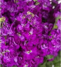 <b>Букет</b>-<b>соло</b> фиолетовой маттиолы (15, 25 или 51), Люберцы