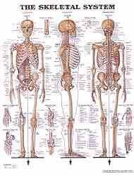 Body Systems Chart Human Body Systems Anatomical Charts Anatomy Chart Poster
