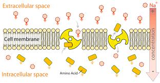 small intestine digestion