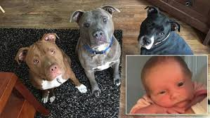 pitbull dog attack. Unique Pitbull 3WeekOld Dies In Dog Attack After Being Left Alone With Familyu0027s Three Pit  Bulls In Pitbull I