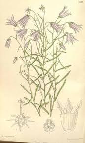 4853 Campanula excisa Schleich. ex Murith / Curtis's Botanical ...