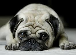 Αποτέλεσμα εικόνας για pug dog
