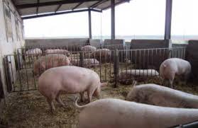Granja Para Cerdos En Zaragosa  YouTubePrecio Granja De Cerdos Engorde