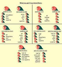 Mutations For Offspring Opaline Lovebird Chart African