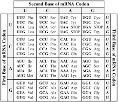 Use Your Codon Chart To Determine The Amino Acid Sequence 2016 Mcas Sample Student Work High School Biology