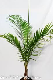 Majestic Palm 25cm