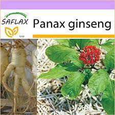 Saflax Chinese Ginseng 10 Seeds Panax Ginseng Amazon