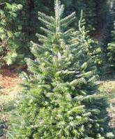Types And Names Of Live Christmas TreesTypes Of Fir Christmas Trees