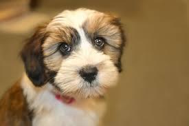 Cavachon Puppy Weight Chart Growth Tibetan Terrier Puppy Weight Chart Tibetan Terrier