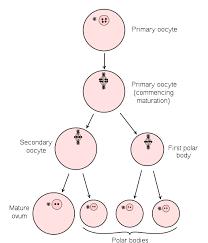 Gametogenesis Spermatogenesis Oogenesis