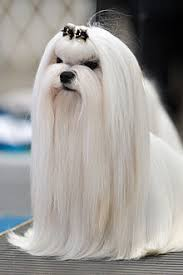 maltese dog. a long-haired maltese groomed for an appearance in conformation show dog i
