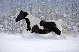 white horses in snow. Unique Horses Black And White Photograph  Paint Horse In Snow By Rolf  Kopfle Horses I