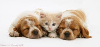 puppies and kittens sleeping. Perfect Puppies Gingerandwhite Persiancross Kitten Thomson Between Two Sleeping Brittany  Spaniel Pups On Puppies And Kittens Sleeping R