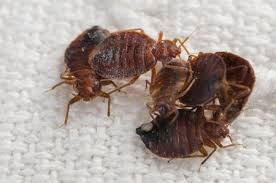 Bedbugs Images Are Bedbug Sniffing Dogs Right