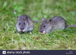 brown rats rattus norvegicus baby animals feeding on birdseed in garden loer