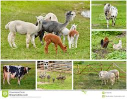 real farm animals collage. Beautiful Animals Download Farm Animals Collage Stock Photo Image Of Homestead  91065266 In Real Animals Collage H