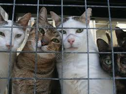 cats in animal shelters. Simple Shelters U201cKilling Dogs And Cats  Intended Cats In Animal Shelters