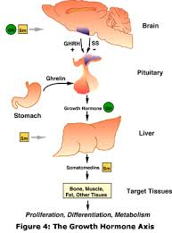 All About Growth Hormone Precision Nutrition