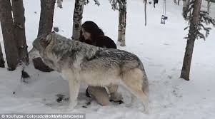 endangered timber wolves are also known as grey wolves in the lower 48 states