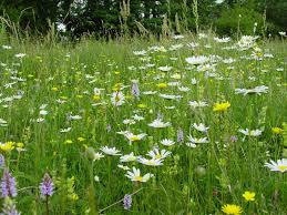 country meadow wildflower seed mix old english meadow mix phoenix amenity supplies
