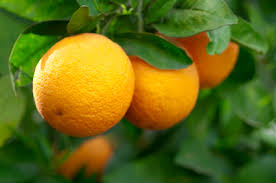 the davidson brother s family specializes in growing shipping choice quality tree ripened indian river citrus oranges gfruits gourmet gifts
