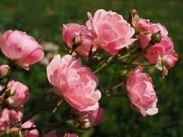 roses roses everywhere