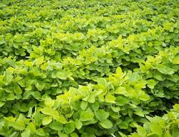 Green Bean Growth Chart Green Bean Plant Care And Growing Guide