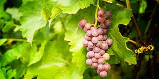 Grape Care Instructions
