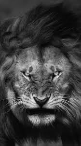 lion photo wallpaper 283995