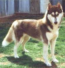 dark red husky puppy. Brilliant Puppy Dark Red Or Brown With White Under Belly For Dark Husky Puppy N