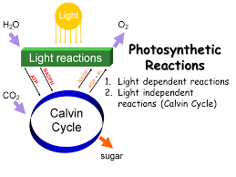 contents chloroplast structure photosynthetic reactions light reactions