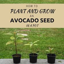 The Easiest Way To Plant And Grow An Avocado Seed In Soil