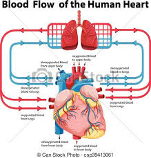Human Blood Flow Chart Diagram Showing Blood Flow Of Human Heart