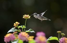 hummingbirds and flowers wallpaper. Hummingbirds Flowers Sunny Nectar Bird Bokeh Wallpaper For And