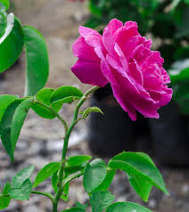25 most beautiful pink roses in the world