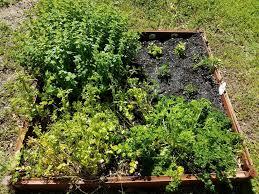 herb garden in the raised bed