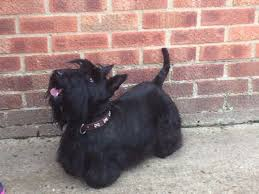 scottish terrier puppies. Plain Terrier Scottish Terrier Puppies With P