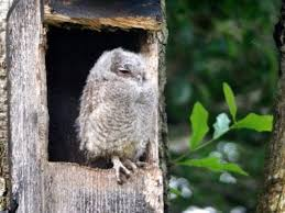 owl house design and owl nest box placement