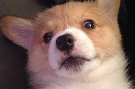 cutest corgi puppy. Simple Puppy With Cutest Corgi Puppy I