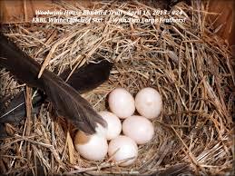 white bluebird eggs