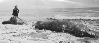 sea monster found 2014. Simple Sea An Earlier And Less Celebrated Bairdu0027s Beaked Whale Carcass Washed Ashore  In Santa Cruz 1920 Intended Sea Monster Found 2014