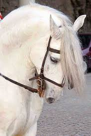 white horses. Beautiful Horses Horses That Appear White But Are Notedit Inside White