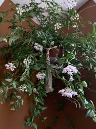 A flor de cera é uma das plantas de interior mais vistosas e fáceis de cuidar. Como Decorar Com Plantas Pendentes Salateando