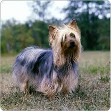 silky dog. australian-silky-terrier. enlarge + silky dog