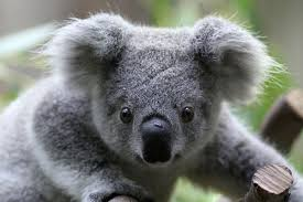 Image result for koalas